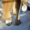 Barhuf durch den Schnee. Foto: Haflinger Austria