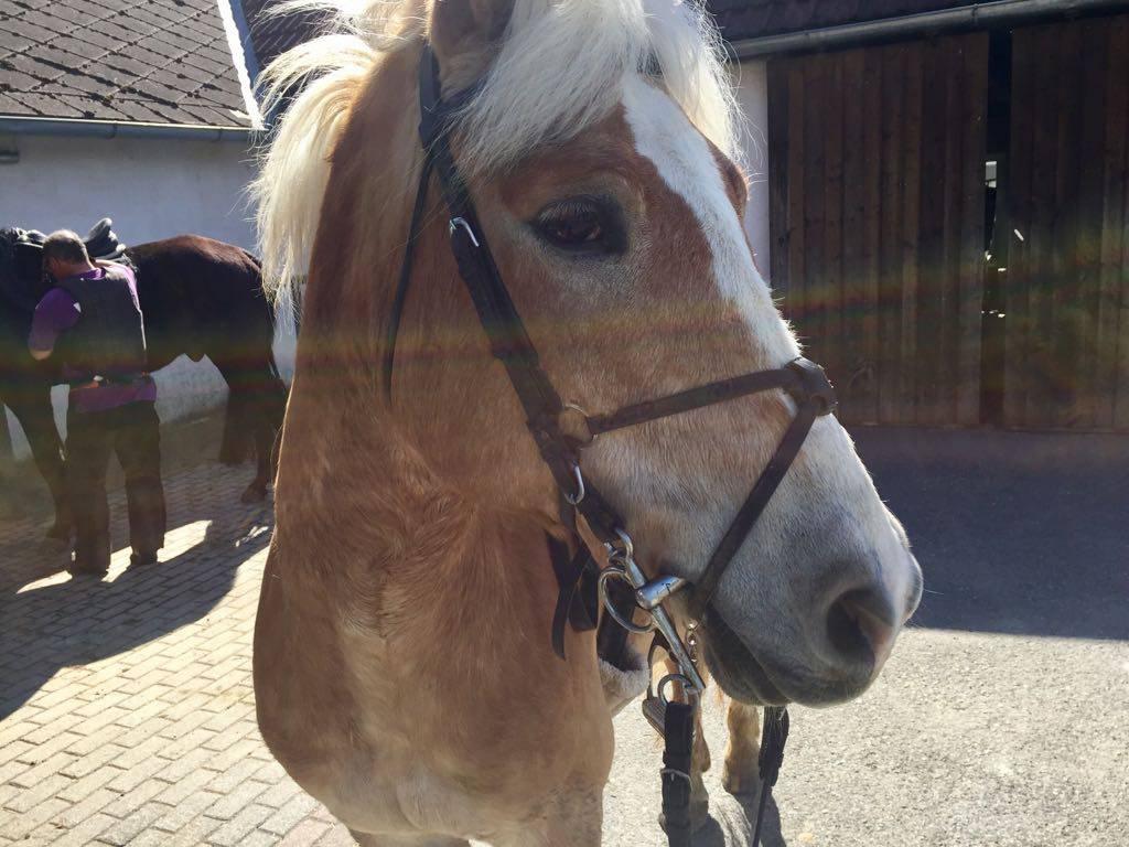 In Söchau angekommen werden die Pferde gesattelt und für den Ritt vorbereitet. Foto: Haflinger Austria