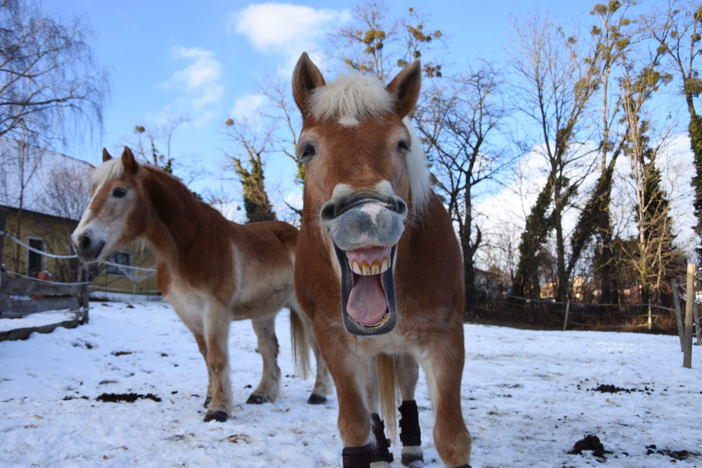 Zähne regelmäßig kontrollieren und gegebenenfalls abschleifen. Foto: Haflinger Austria